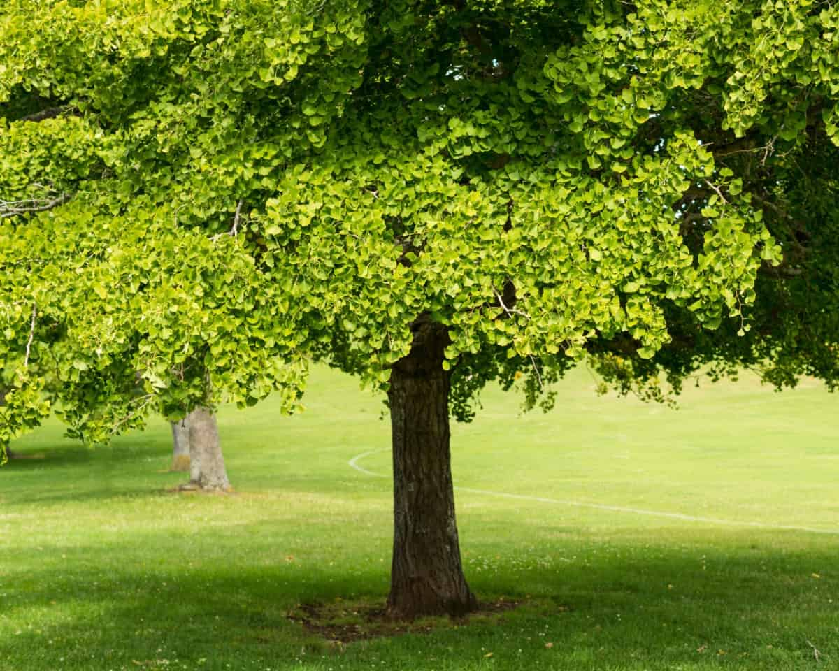 Gingko trees are incredibly long-lived.