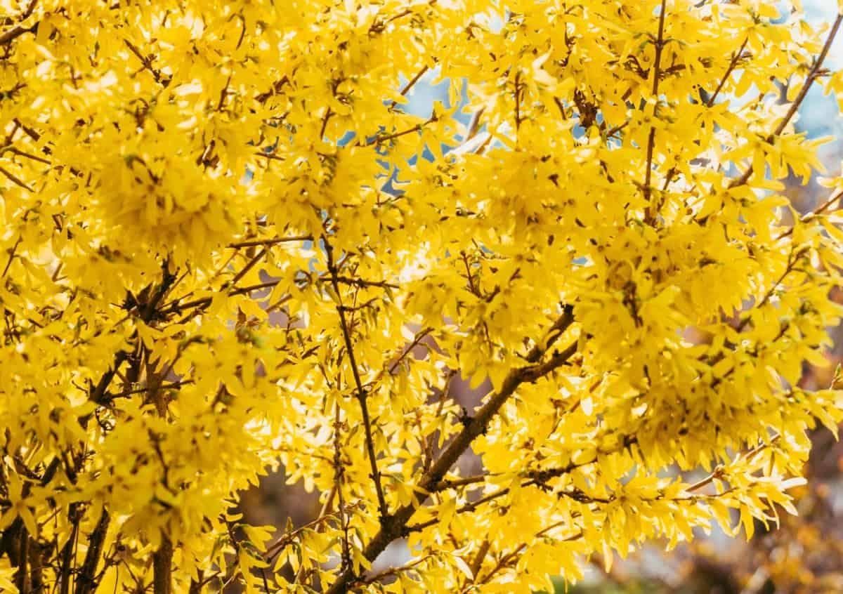 Golden bells forsythia is a member of the olive family.