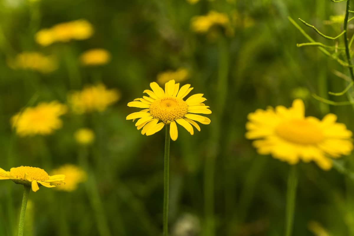 Golden marguerite is a perennial that smells like chamomile.
