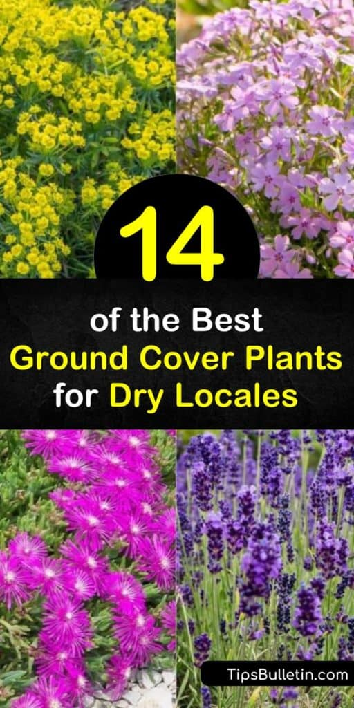Discover how to fill your dry yard with color by planting drought-tolerant ground cover plants. Plant low-maintenance sedum, vinca, and thymus vulgaris to enjoy pink flowers from late spring to late summer. #groundcoverplants #droughttolerant #planting