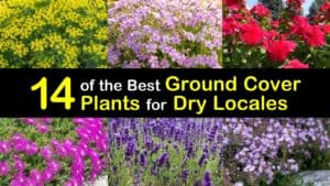 Ground Cover Plants for Dry Areas titleimg1
