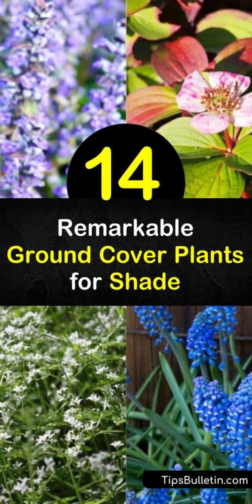 Discover which ground cover plants for shade also tolerate drought and difficult soil conditions like clay. Add low-maintenance shrubs like Sweet Woodruff to make care of the plant even easier. Plant Lily of the Valley or lamium for areas with full shade conditions. #groundcover #plants #shade