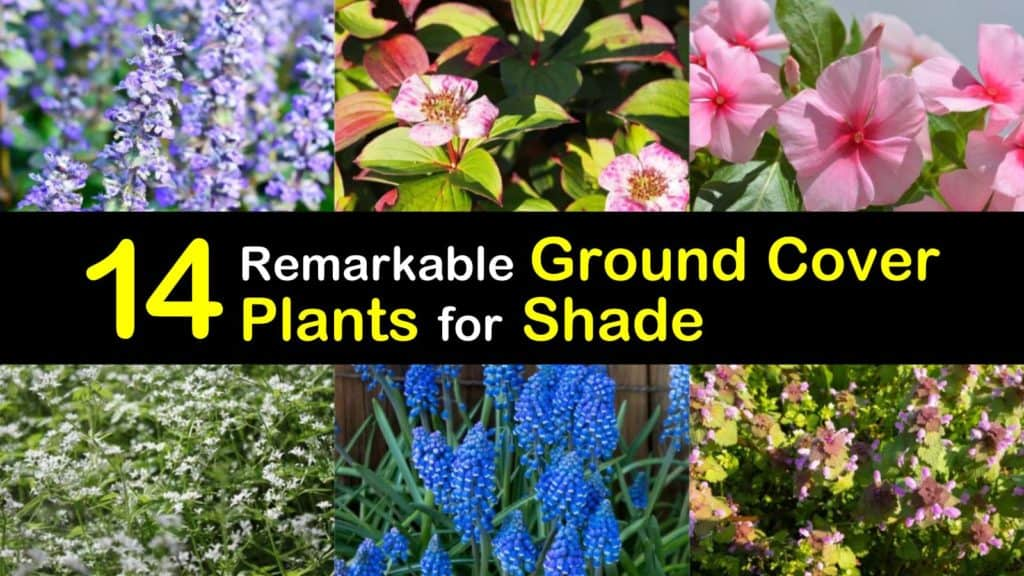 Ground Cover Plants for Shade titleimg1