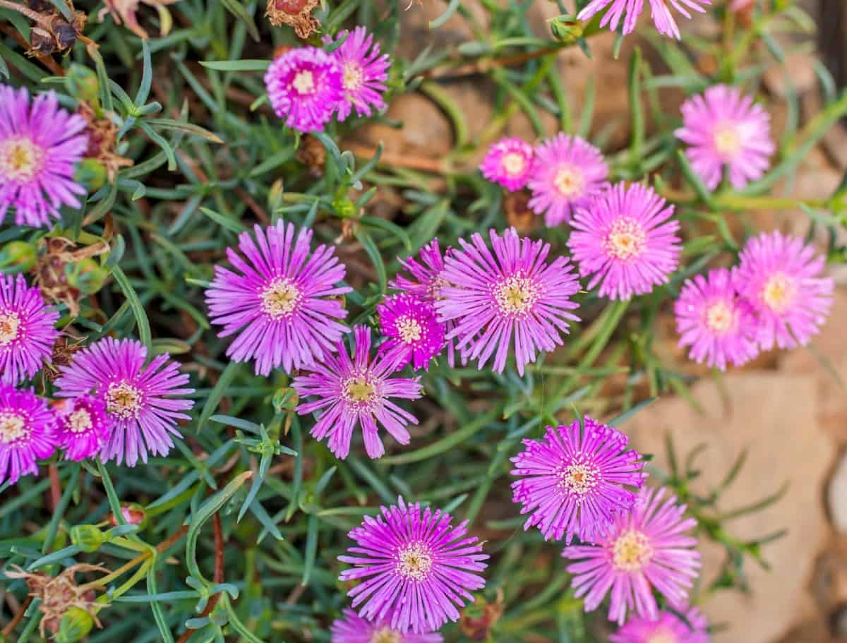 The hardy ice plant prefers dry soil.