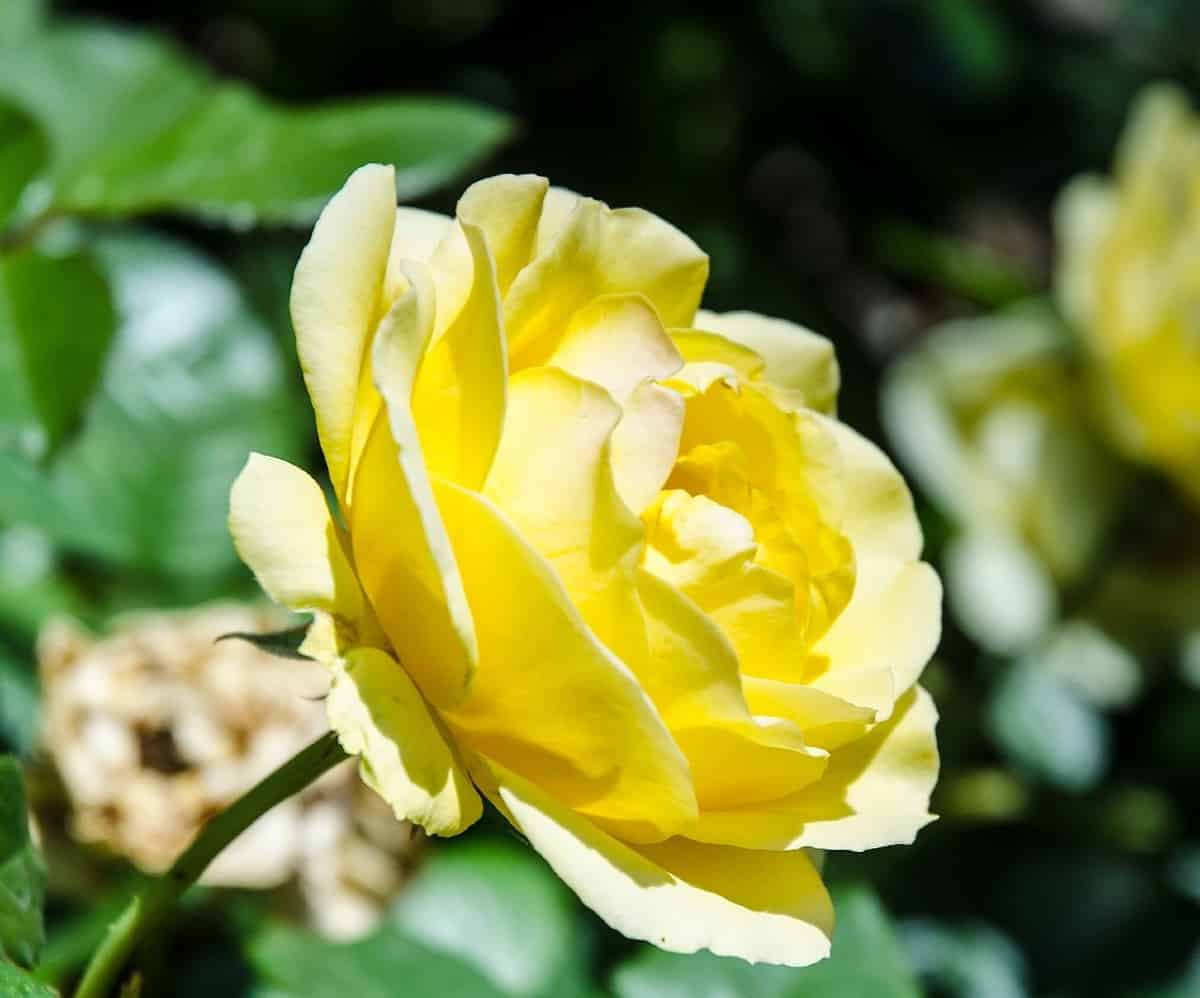 Harrison's yellow rose is better known as the Yellow Rose of Texas.