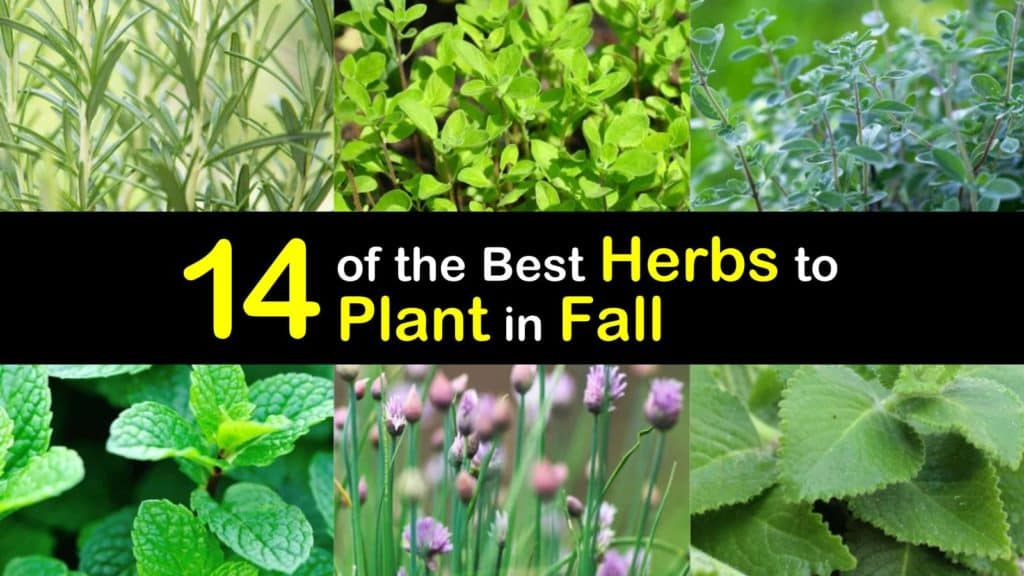 Herbs to Plant in Fall titleimg1