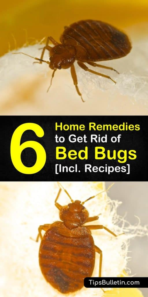 We have detailed recipes on how to detect bed bugs, treating an infestation, and what remedy is best to use for getting rid of bed bugs from carpet, mattress, and bed. It includes bed bug removal recipe with essential oils and cayenne pepper. #bedbugs #diypestcontrol #treatbedbugs