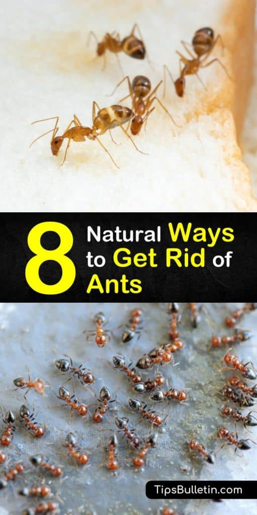 Learn how to get rid of ants with detailed natural pest control recipes using home remedies. Perfect for eliminating ants in the yard, garden, and inside the house. #ants #diyantcontrol #getridofants