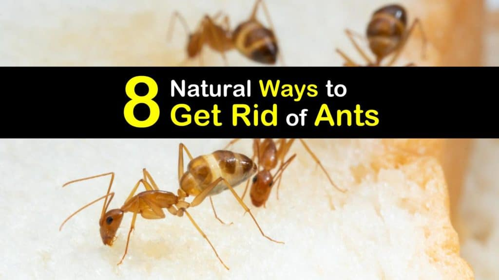 how to get rid of ants titleimg1