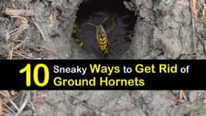 How to Get Rid of Ground Hornets titleimg1