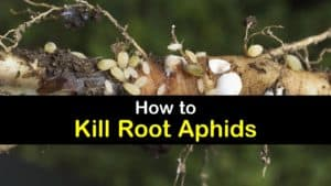 How to Get Rid of Root Aphids titleimg1