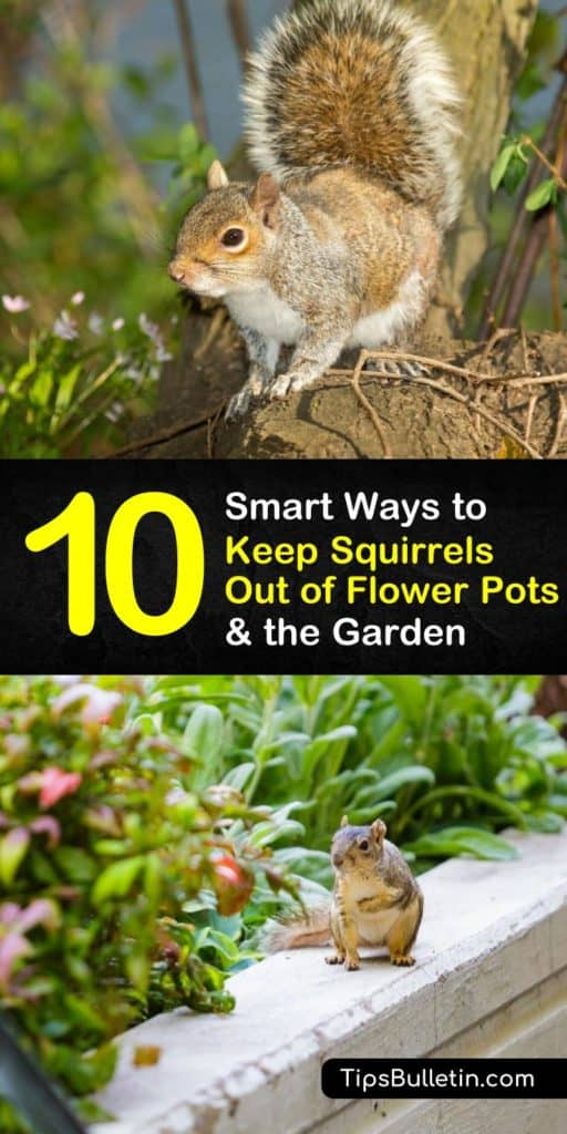 Hands-on tips for how to keep squirrels out of flower pots. Don't let pesky squirrels ruin your garden, learn how to keep squirrels from getting in bird feeders, digging in your flower beds, and destroying your plants. #keepsquirrelsout #squirrelfreegarden