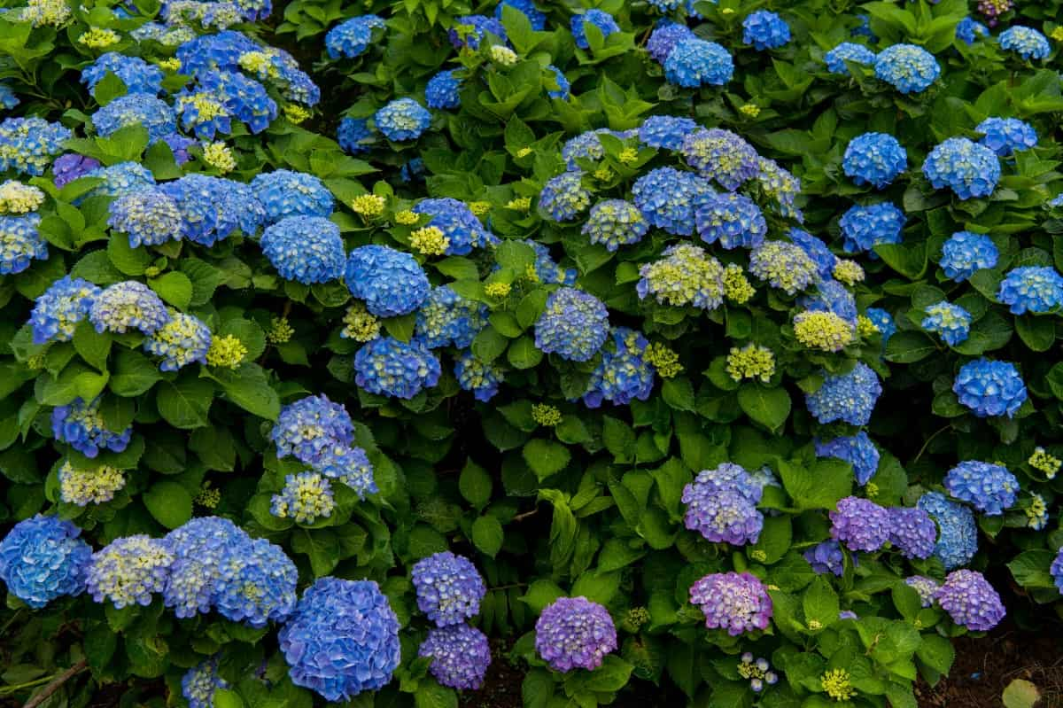 Hydrangeas have large flowers and are low maintenance.