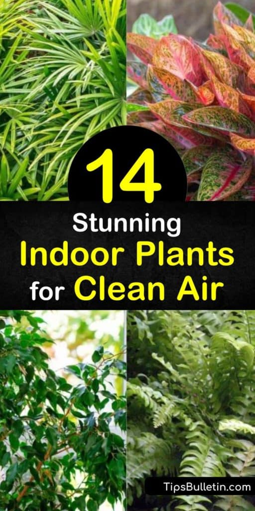 Learn how to clean air in your home and remove harmful toxins such as trichloroethylene and xylene with indoor plants. Improve your indoor air quality with English ivy, spider plants, ficus, and dracaena while adding natural decor. #indoorplants #cleanair #airpurifyingplants #aircleaningplants