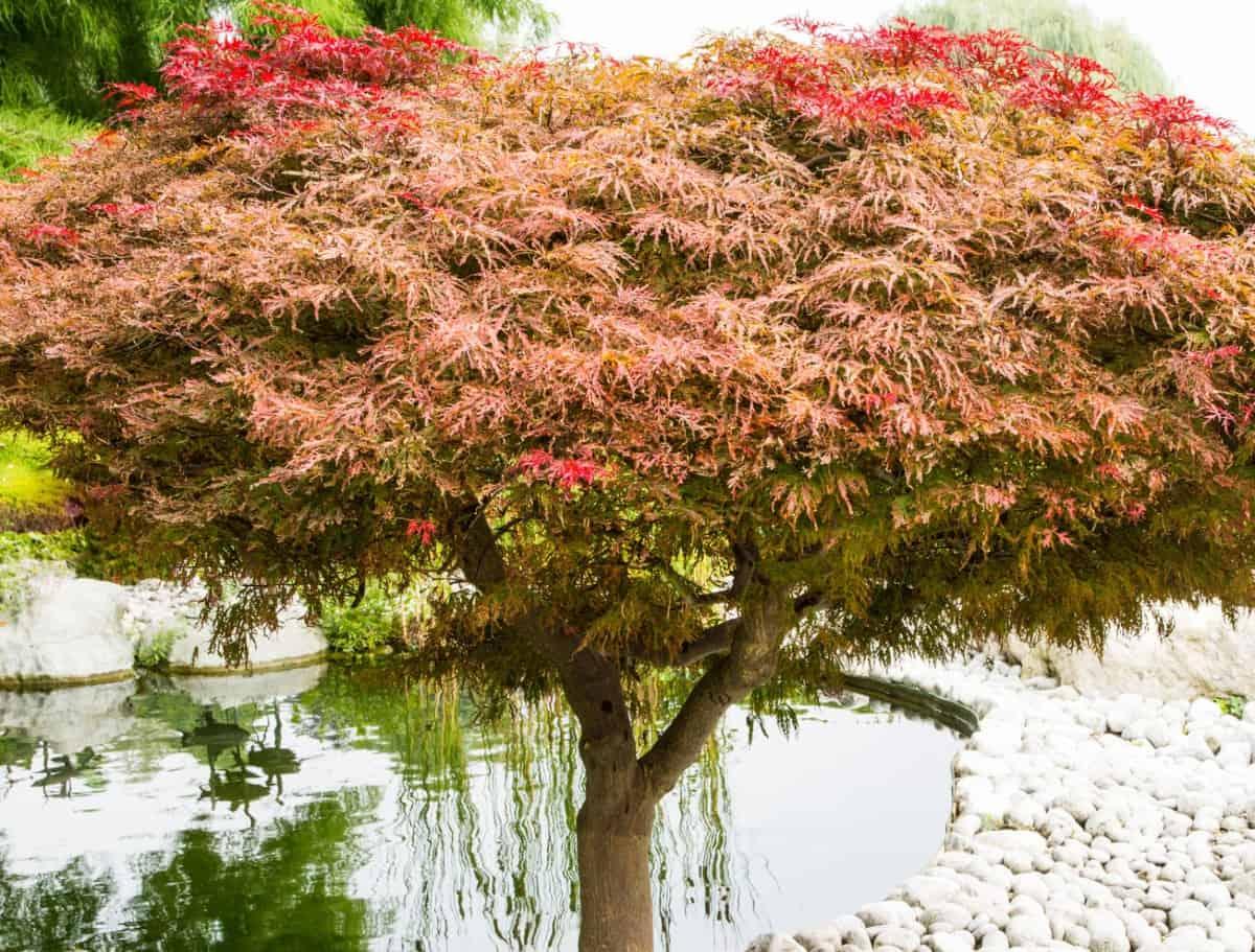 The Japanese maple has brilliant foliage.