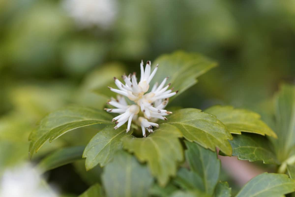 Japanese pachysandra or spurge is an evergreen perennial.