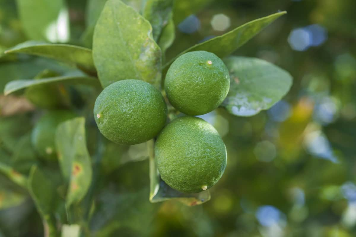 Grow a key lime tree for your very own limes to add to key lime pie.