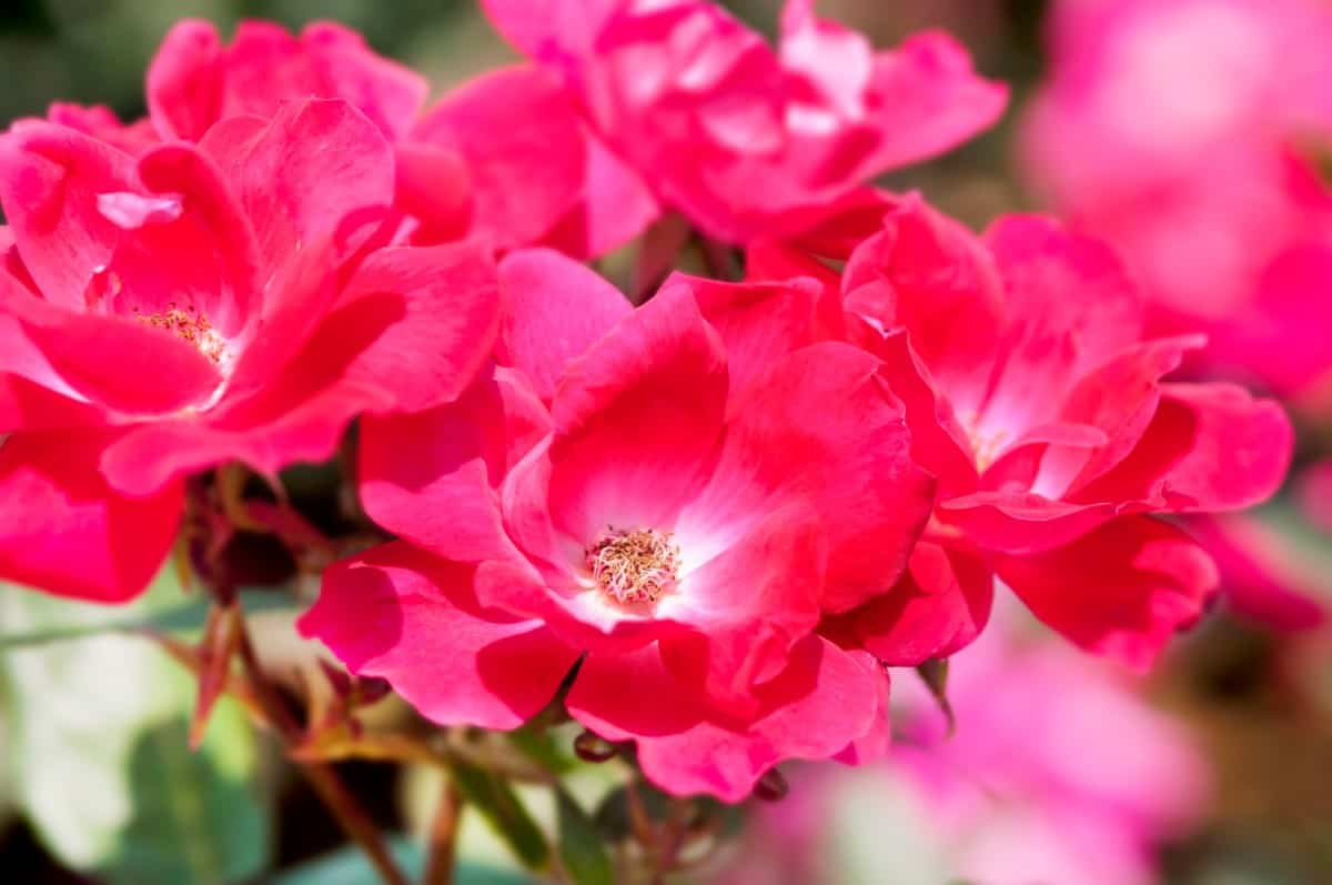 Knock out roses are very easy to care for.