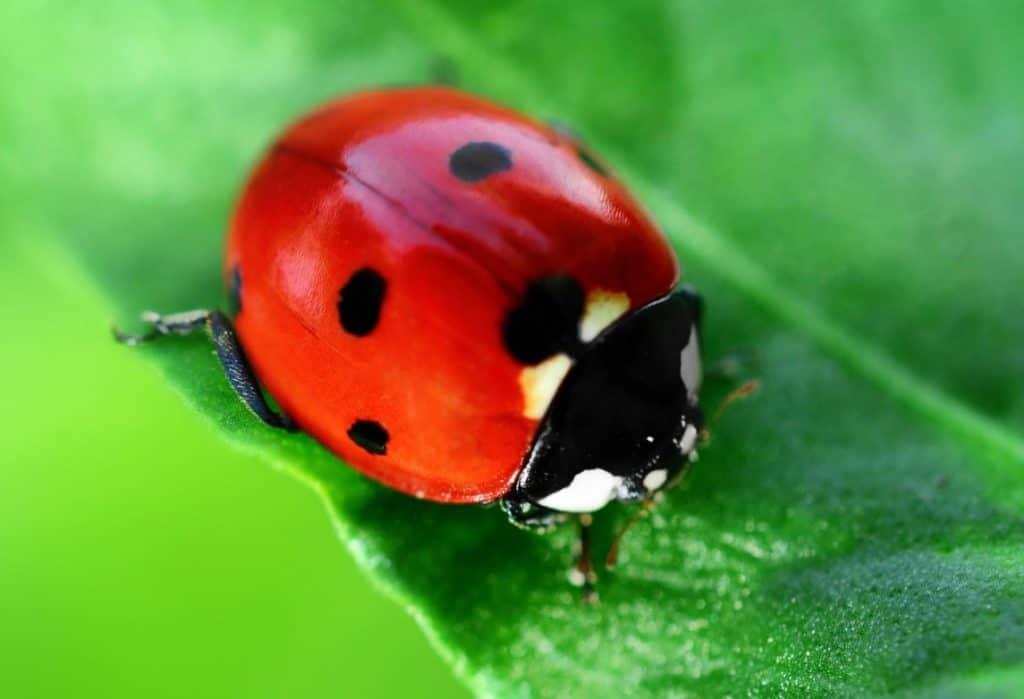 ladybugs eat spiders