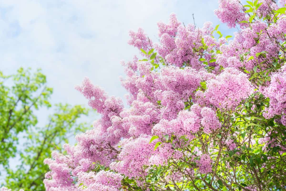 Lilac bushes need regular pruning.