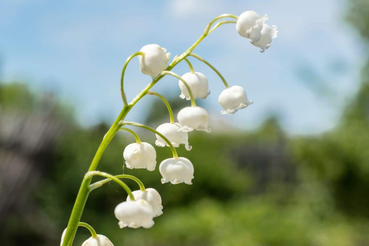 Lily of the valley is a small plant that thrives in shade.