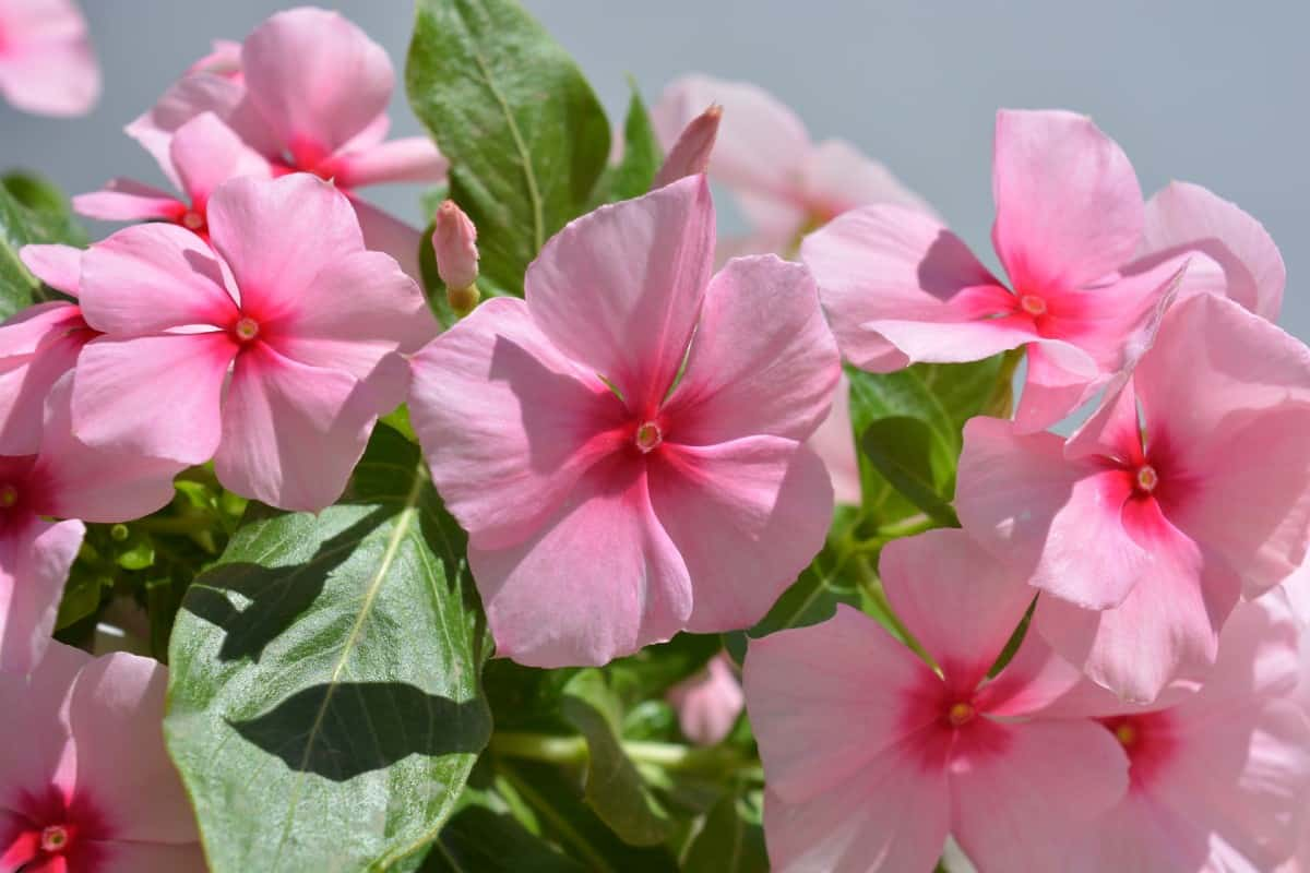 The Madagascar periwinkle needs little water.