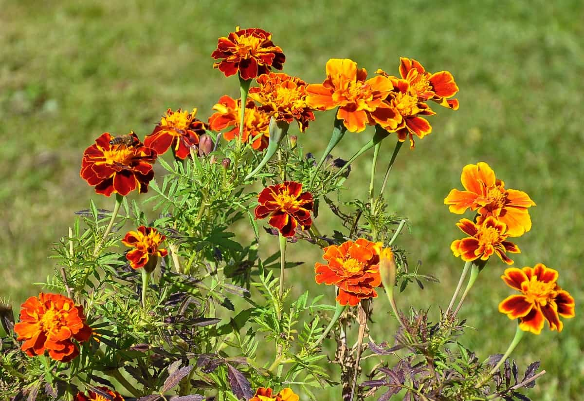 Marigolds are some of the easiest plants for children to grow.