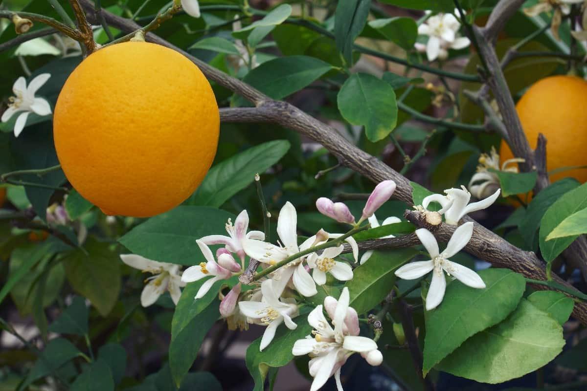 Meyer lemon blossoms have a wonderful fragrance.