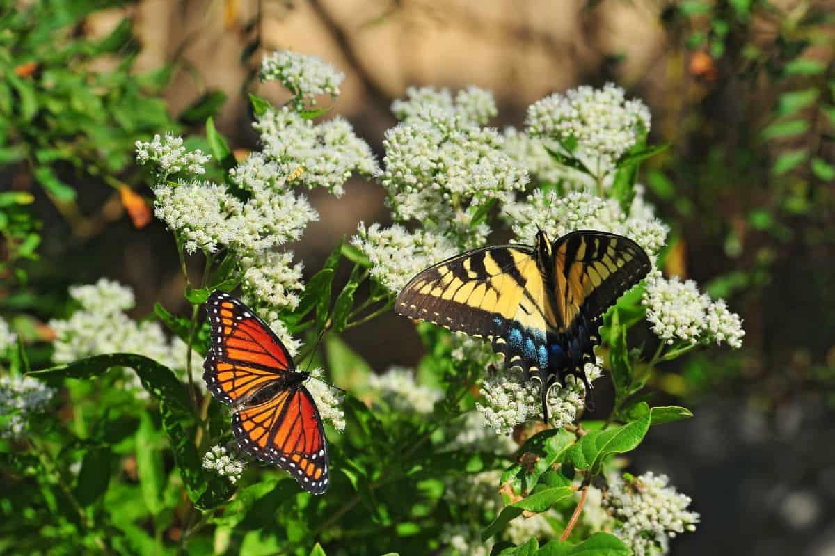 Milkweed plants attract all kinds of butterflies.