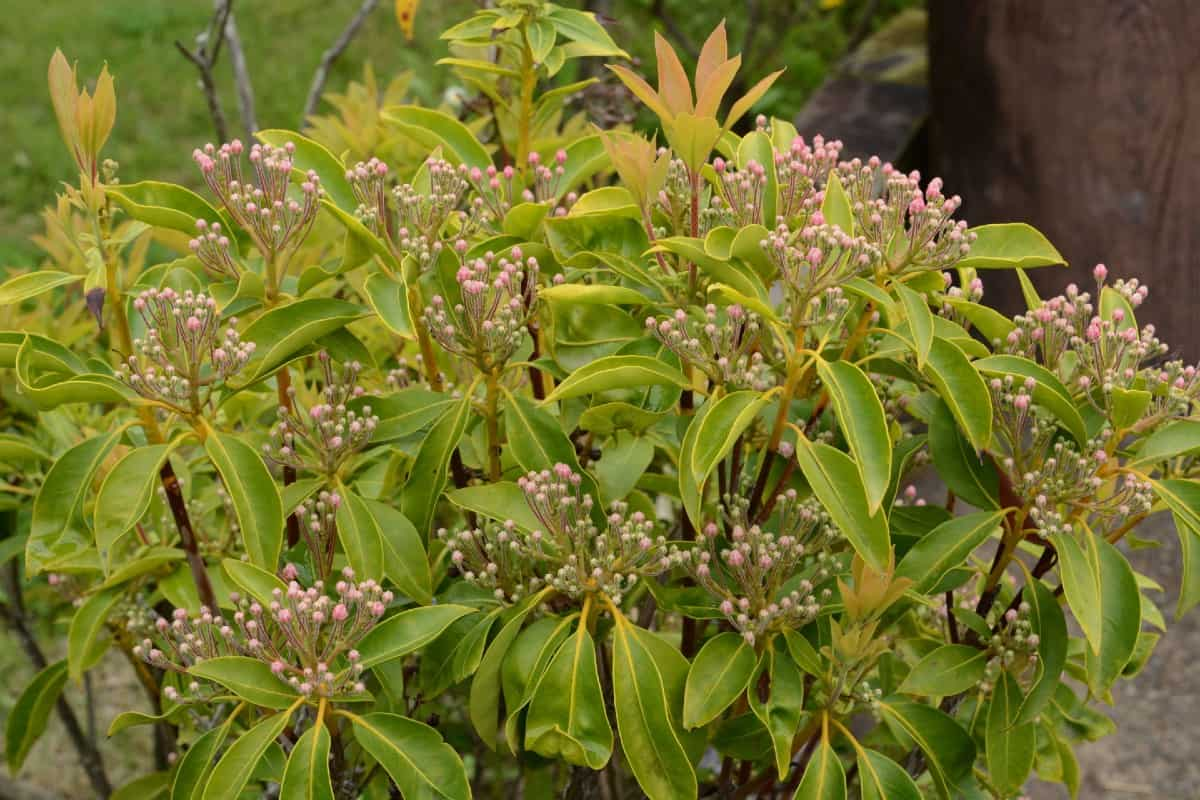 Mountain laurel should be spaced six feet apart when creating a hedge.