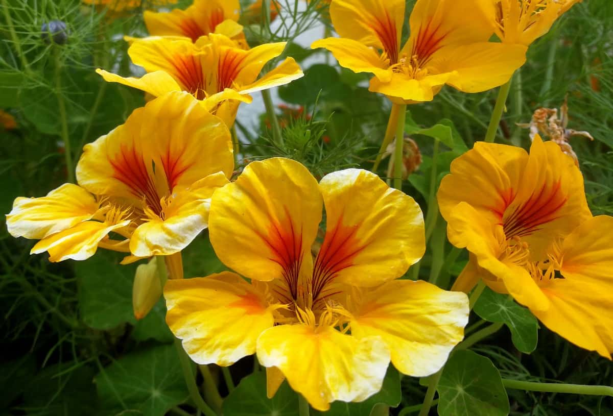 Nasturtiums are completely edible.