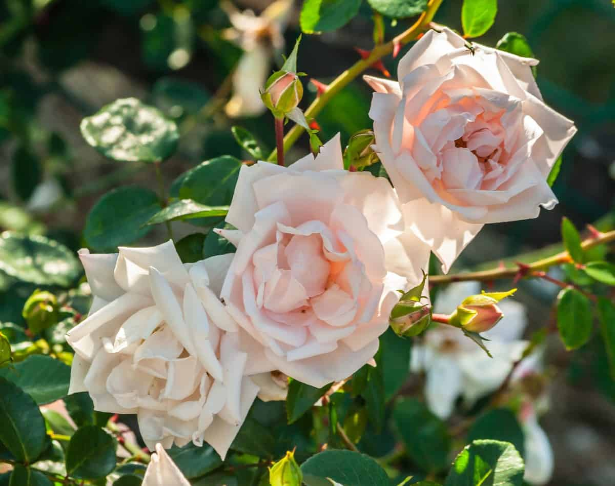The new dawn climbing rose doesn't mind dry conditions.