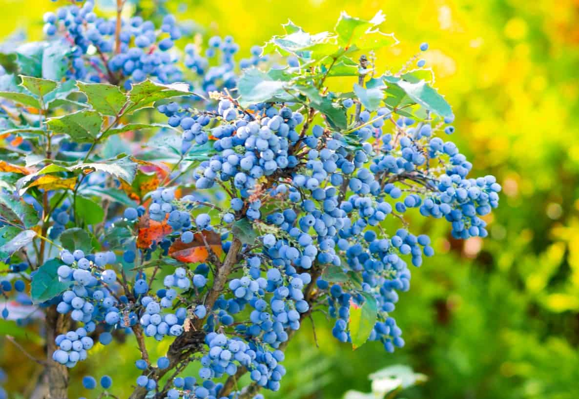 The foliage of the holly-like Oregon grape adds color all winter.