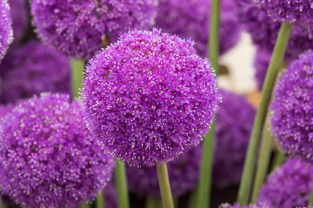 The ornamental onion has bright purple flowers.