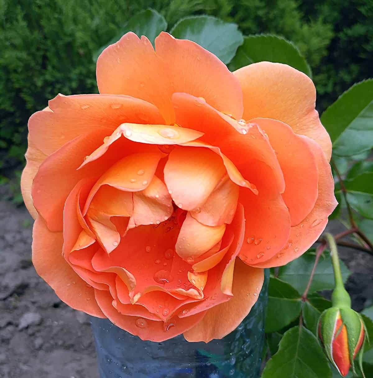 The Pat Austin rose is drought tolerant and smells like tea.