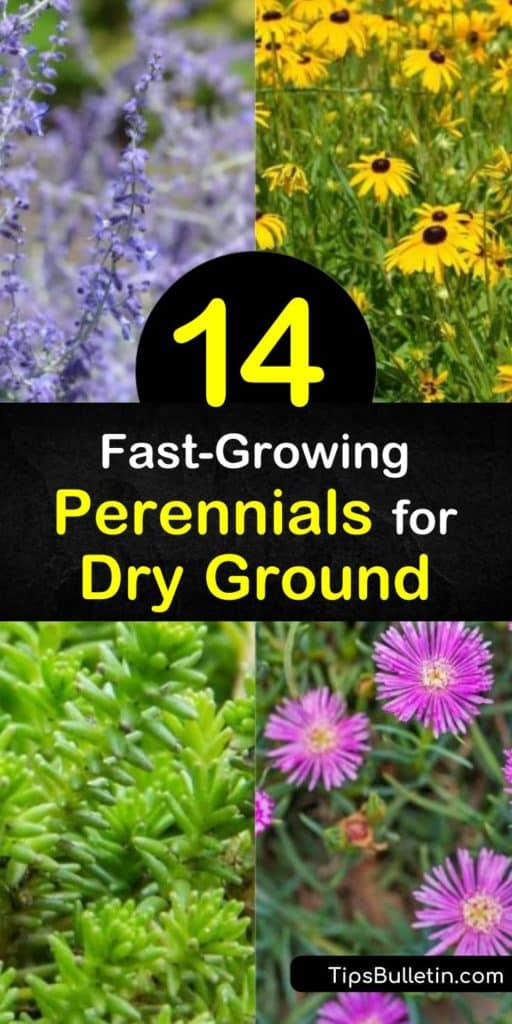 Discover perennials that thrive in dry conditions and even poor soil. From succulents to bold-hued flowers, these drought tolerant plants enliven a dry garden. Try allium, which blooms from late spring to early summer, or blanket flower, which attracts hummingbirds. #perennials #drysoil #drygarden