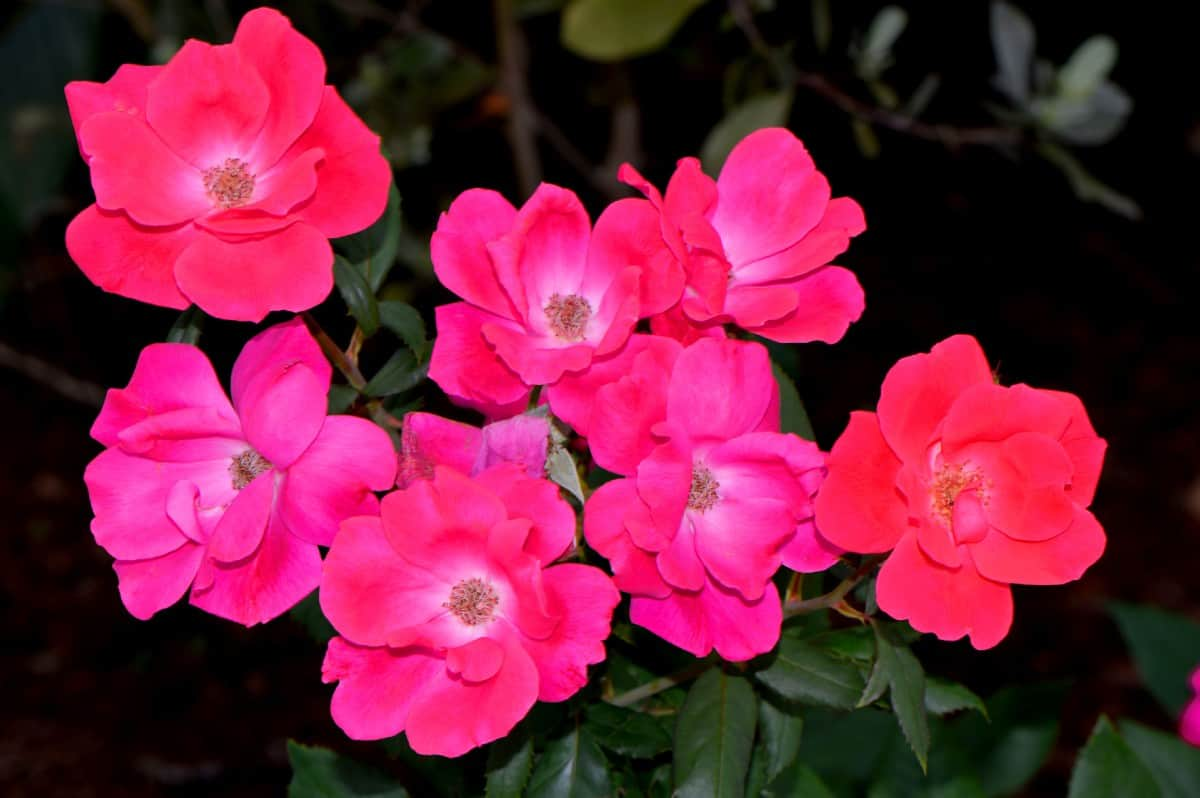 Pink double knock out roses do not require deadheading.