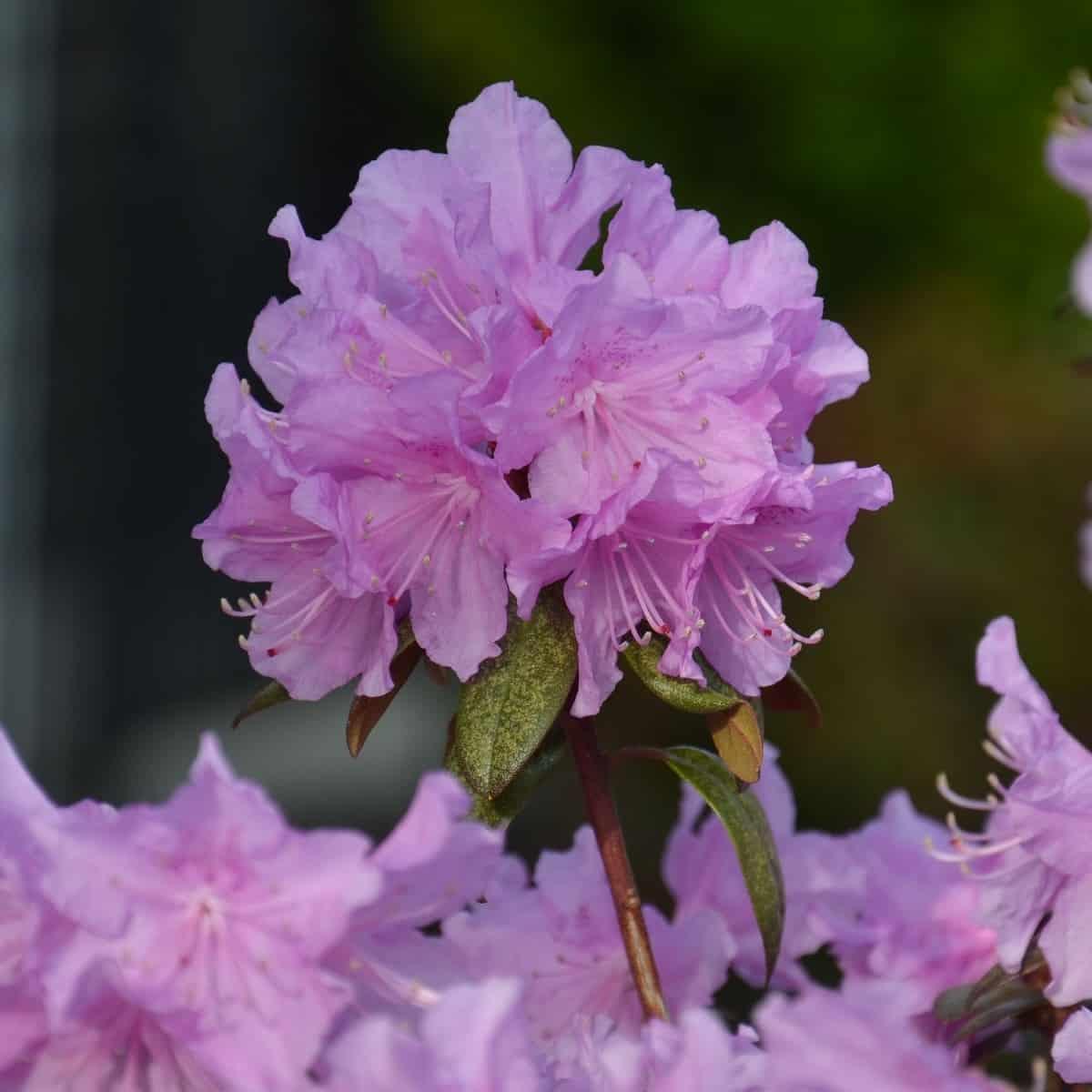 The PJM elite rhododendron sports reddish-purple leaves in winter.