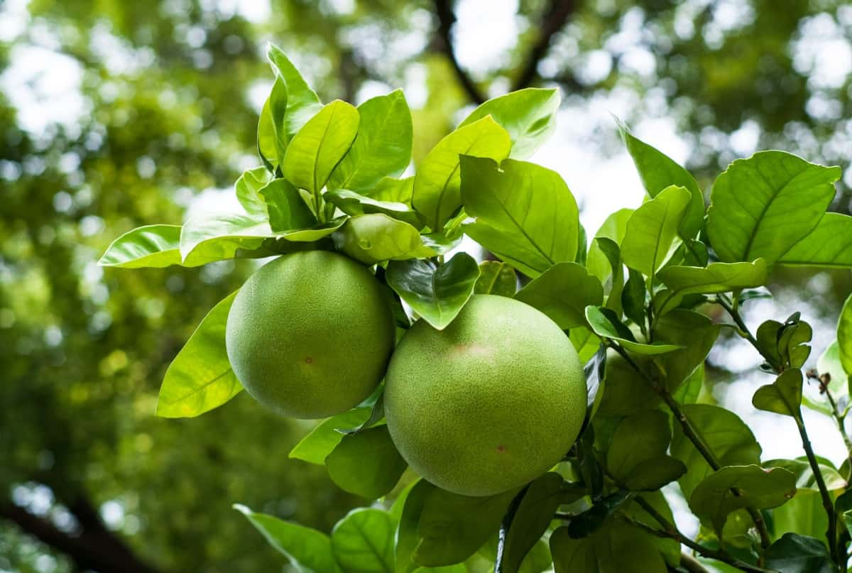 Pomelos are a large fruit related to the grapefruit.