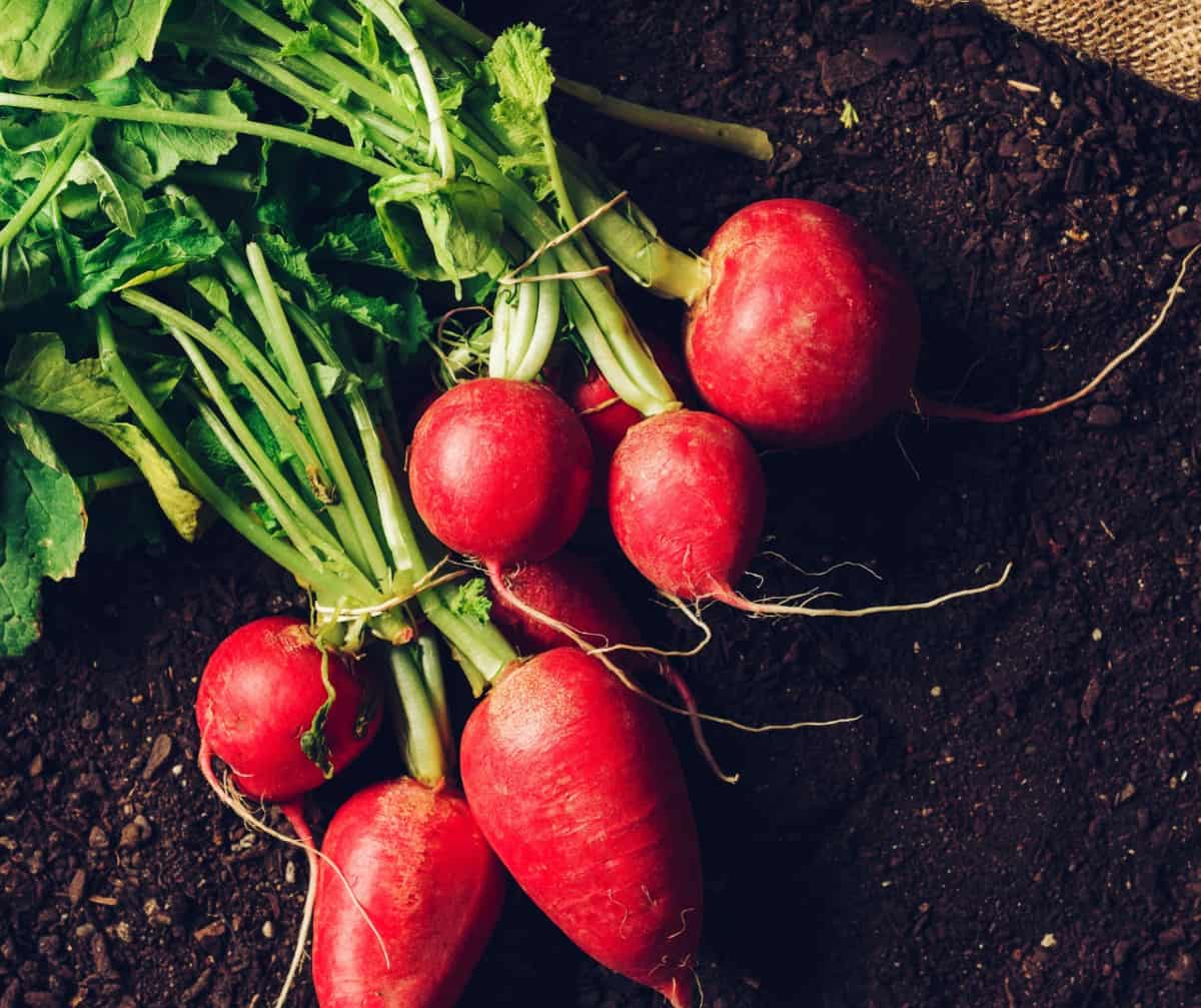 Radishes only take a month to produce the edible veggie.