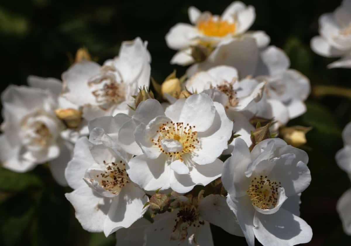 The rambling rector rose has white double-blooms.