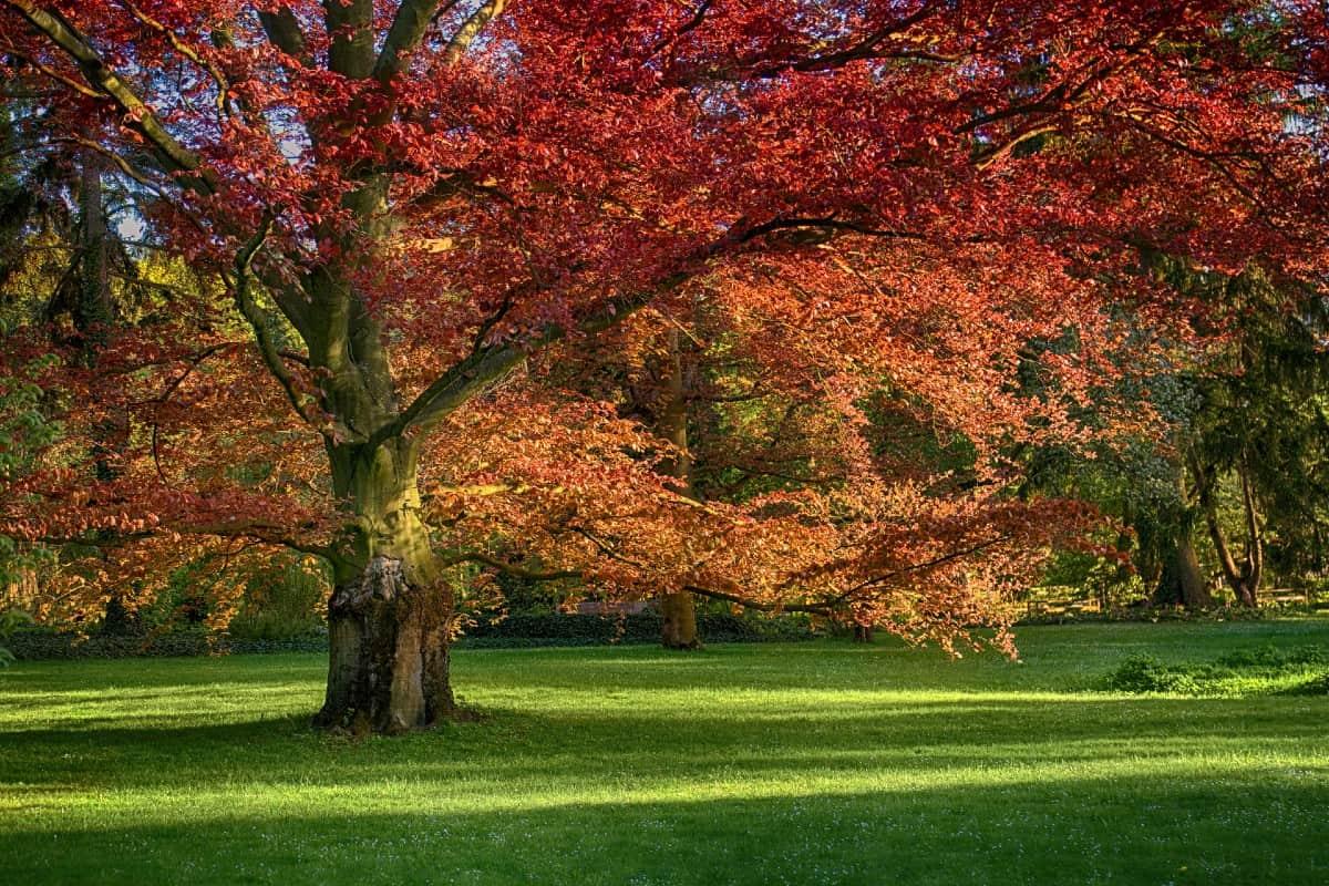 The red oak produces an abundance of acorns.