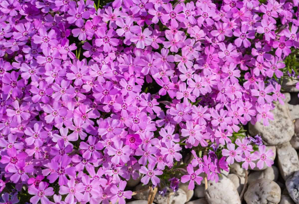 Rock cress is an alpine plant that likes acidic soil.