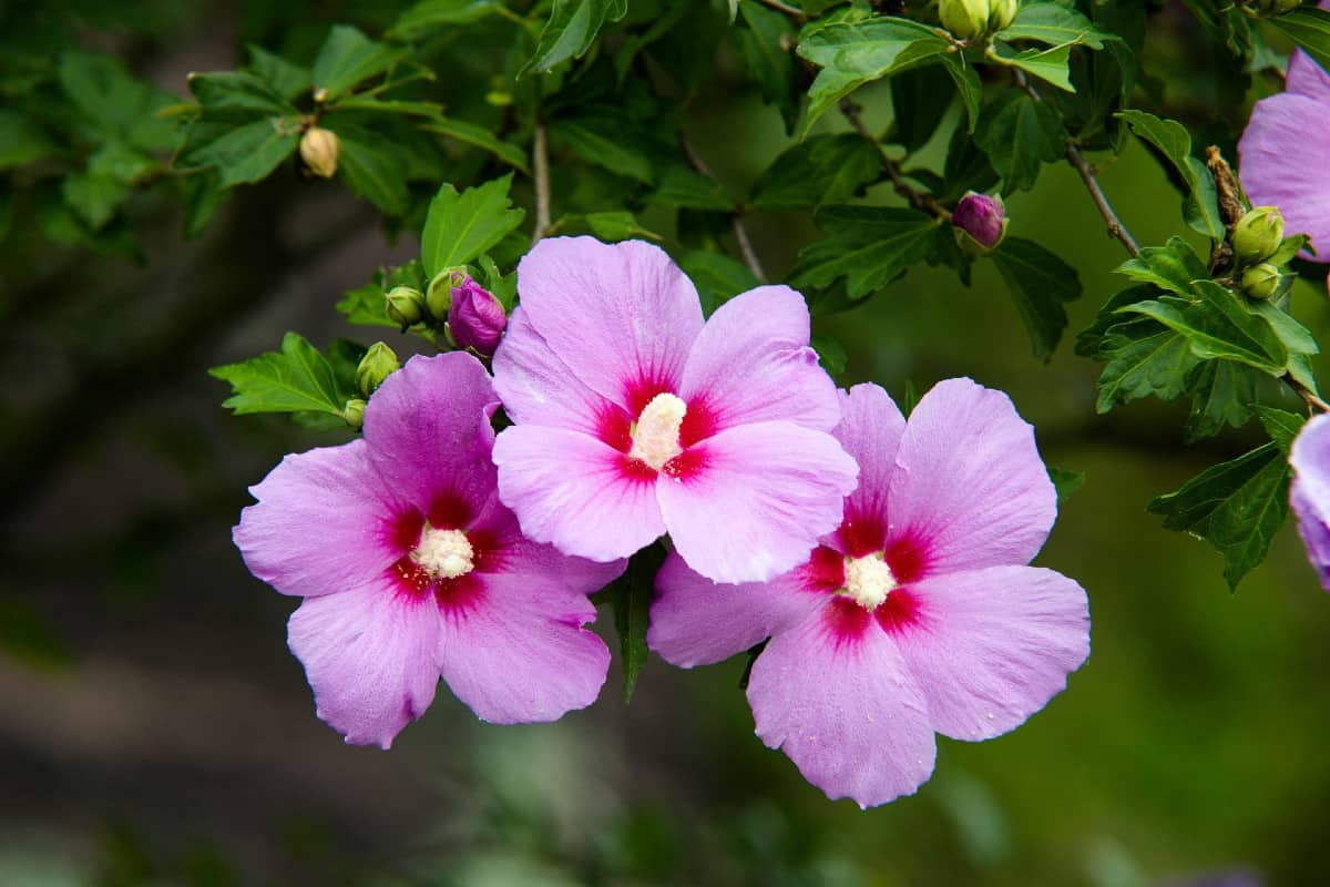 The rose of Sharon is a late-blooming hibiscus variety.