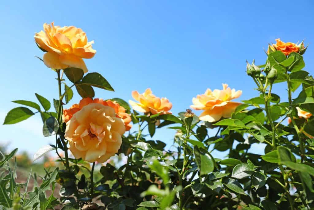 roses benefit from epsom salts