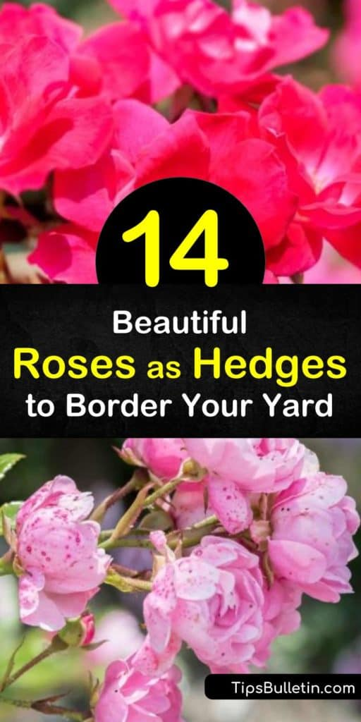 Try choosing between the rugosa rose, knock out rose, and apricot rose for creating the privacy hedge of your dreams. These bare root roses have white, yellow, and pink flowers and transform your yard into a professional-looking rose garden. #roses #hedges #rosehedge