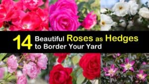 Roses as Hedges titleimg1