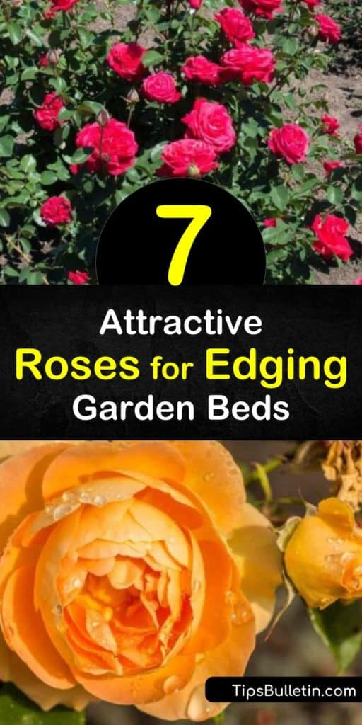 Discover how to create a natural border around your garden with rose bushes. Plant climbing roses as a backdrop and edge your full sun garden or path with low growing hybrid teas, floribunda roses, drift roses, and knock out roses. #rosesforedging #borderroses #edge #roses