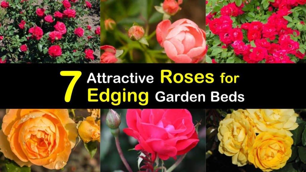 Roses for Edging titleimg1