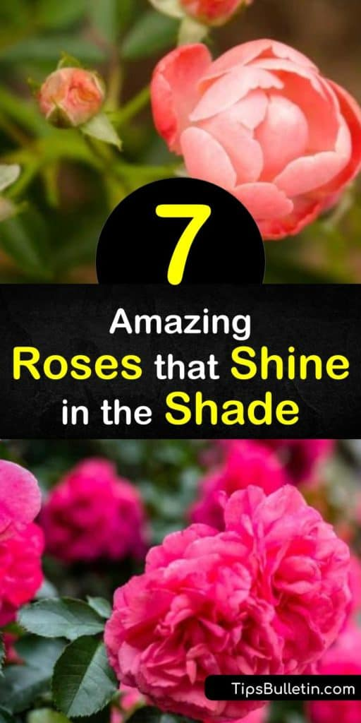 Discover the true perks of roses that tolerate partial shade, are disease resistant, thornless, and have semi-double blooms. Whether you plant an English rose, climbing rose, shrub rose, or hybrid musk rose, these plants are some of the toughest of the entire species. #roses #shade #rosesforshade